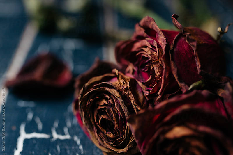 Wilted crimson roses on a blue background by Gabriel (Gabi) Bucataru for Stocksy United