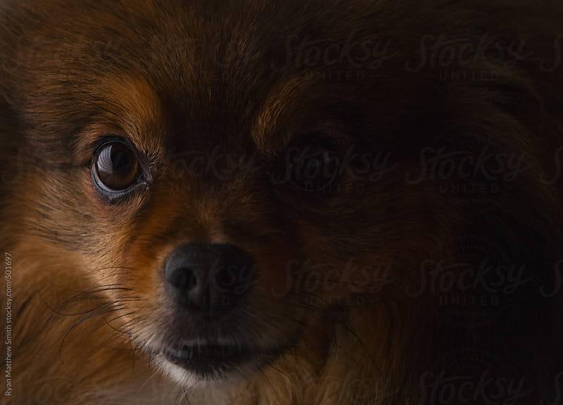 Pomeranian by Ryan Matthew Smith for Stocksy United
