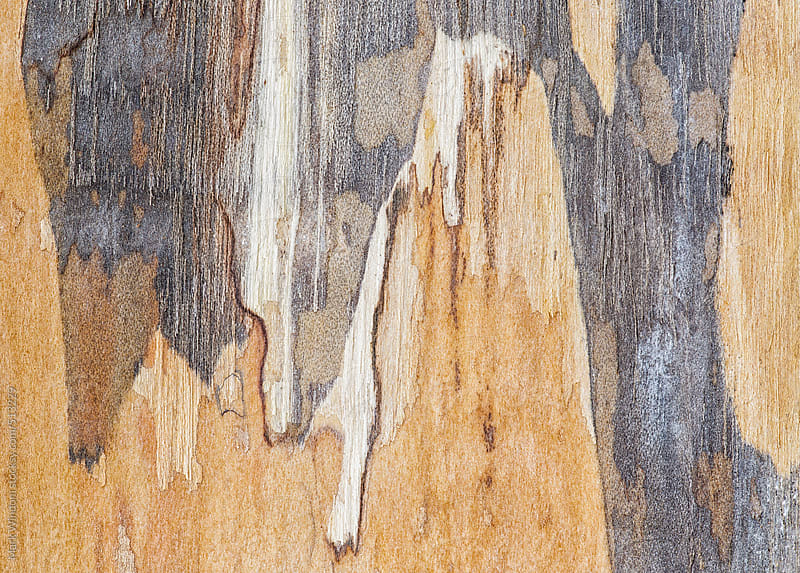 Maple bark patterns, closeup by Mark Windom for Stocksy United