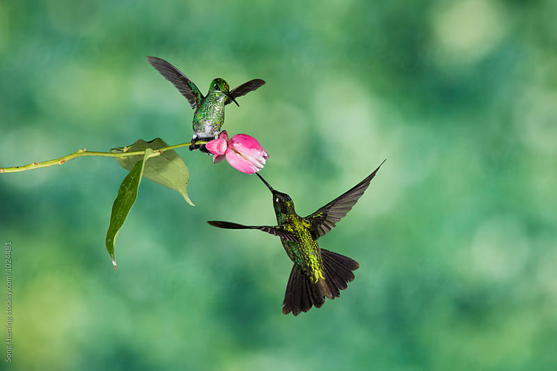 Two hummingbirds fighting for the best flower by Song Heming for Stocksy United