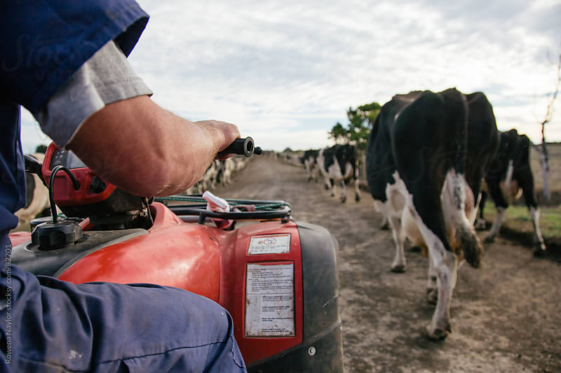 Bringing the cows in for milking by Rowena Naylor for Stocksy United