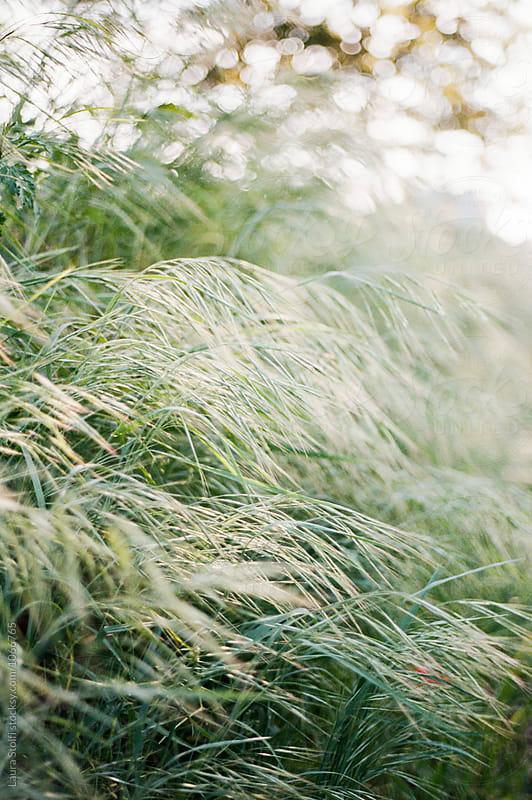 Wild grasses shot on film  by Laura Stolfi for Stocksy United