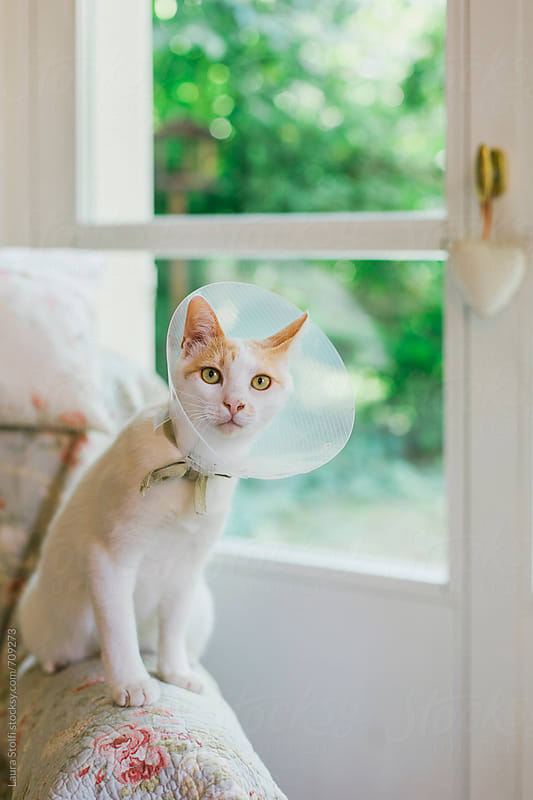 Recovering cat sitting on sofa's arm wearing elizabethan collar by Laura Stolfi for Stocksy United