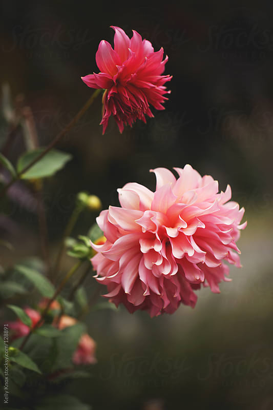 two dahlias in a garden by Kelly Knox for Stocksy United