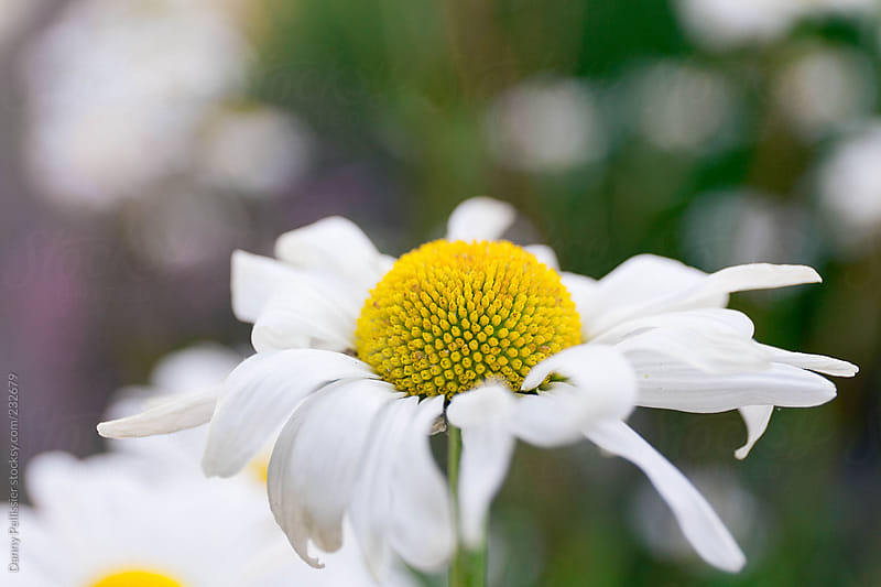 Macro Daisy flower by Danny Pellissier for Stocksy United