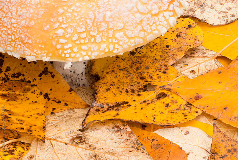 Mushroom and leaves in Fall by Mark Windom for Stocksy United