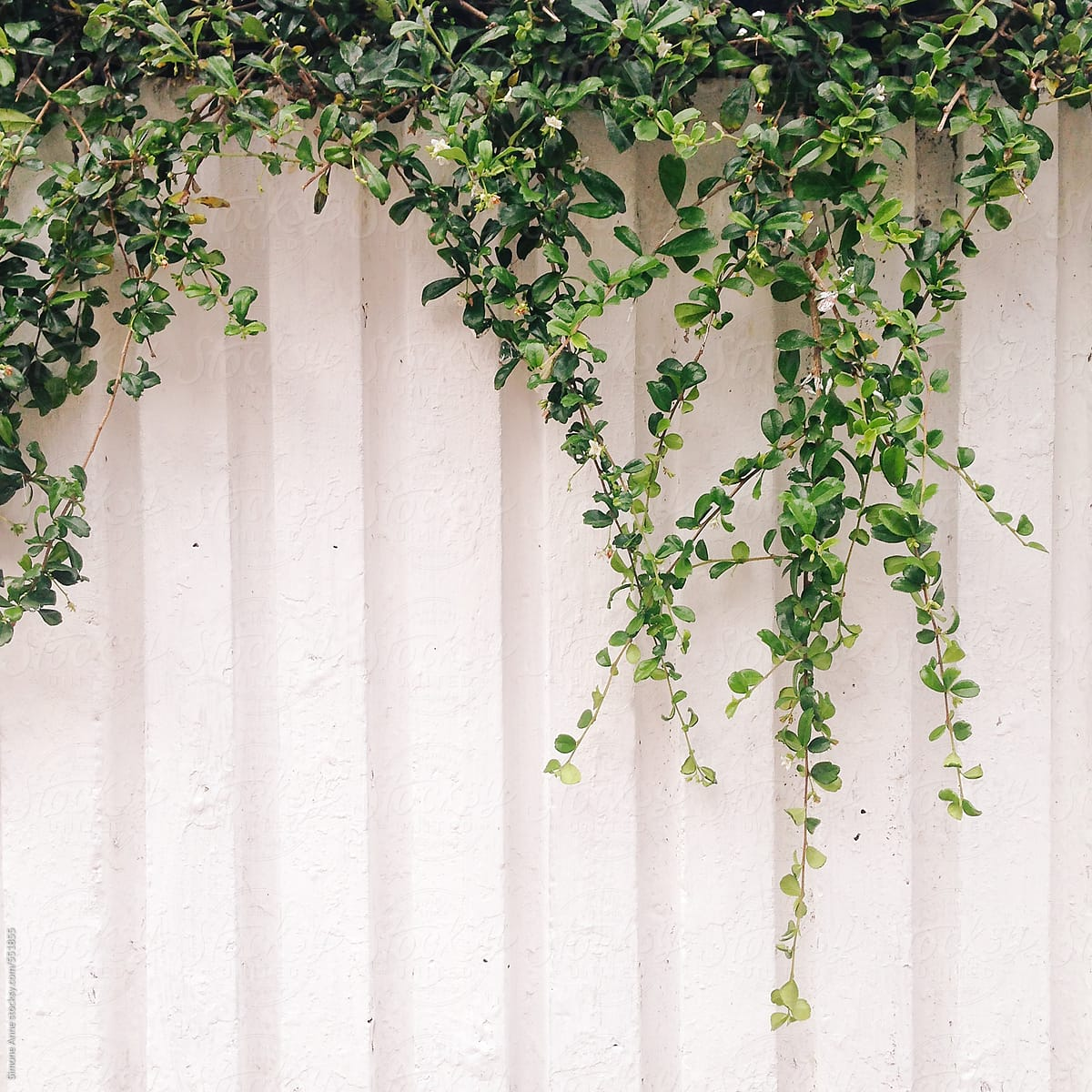 Green Plants Hanging Over A White Wall Stocksy United