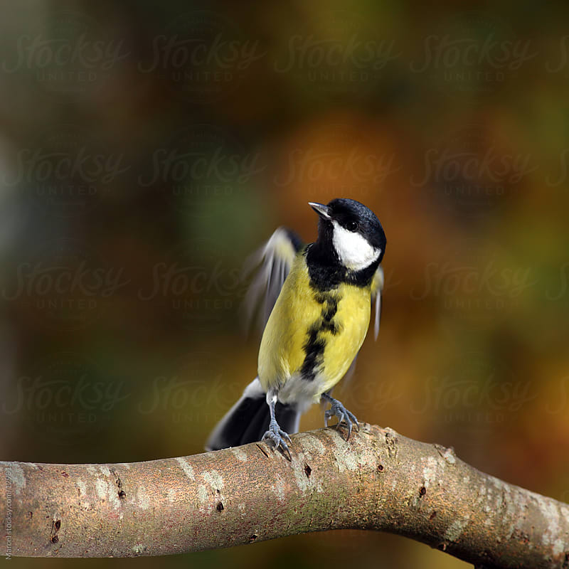 Great tit about to lift off by Marcel for Stocksy United