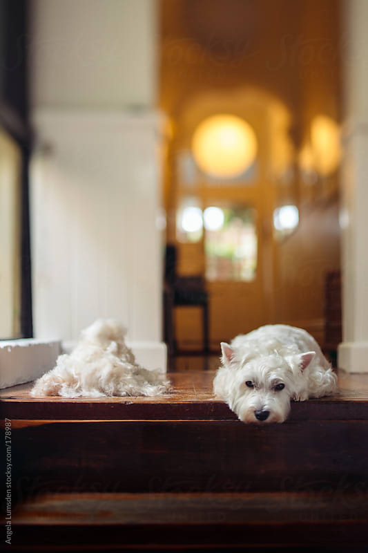 White dog looking glum after grooming session by Angela Lumsden for Stocksy United