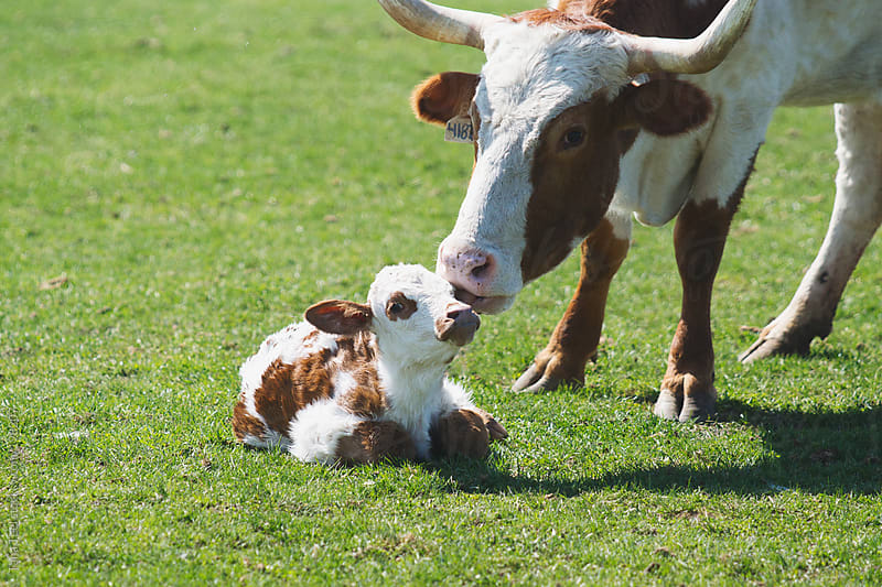 A cow licks her newborn calf by Tana Teel for Stocksy United