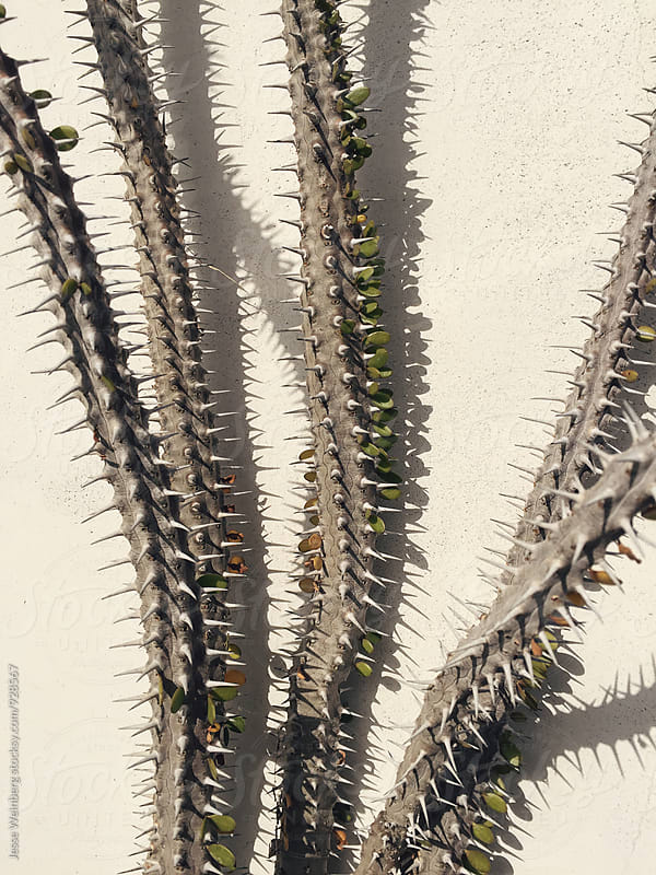 Cactus on White Wall by Jesse Weinberg for Stocksy United
