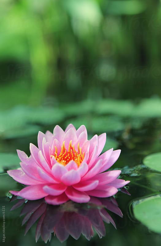 Lotus flower or pond lily floating on a pond by kkgas for Stocksy United