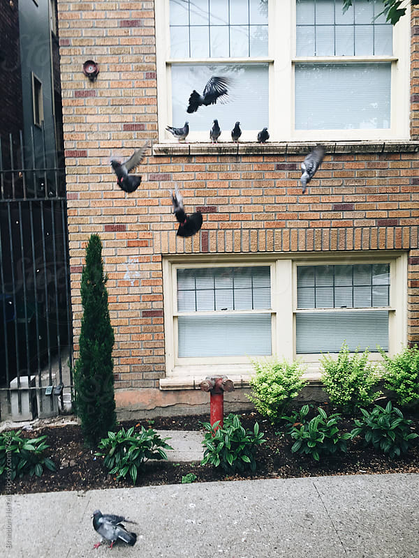 Pigeon Party. by Brandon Herrell for Stocksy United