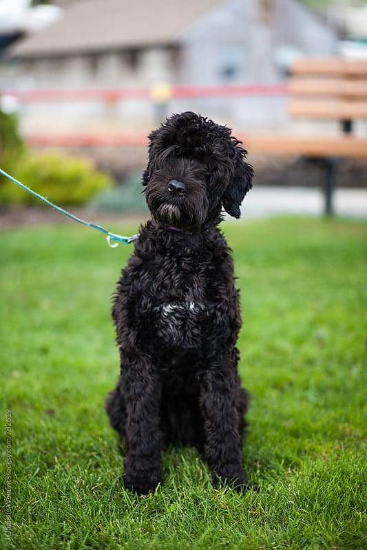 A Portuguese Water Dog puppy sitting in grass outside while on leash. by J Danielle Wehunt for Stocksy United