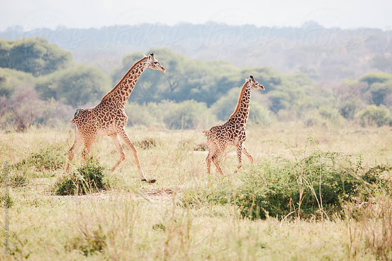 mother and baby giraffe running by Cameron Zegers for Stocksy United