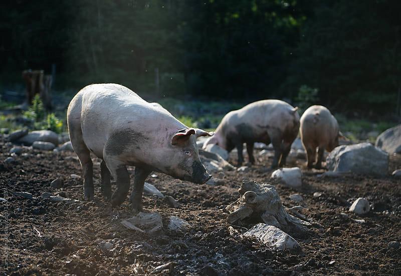 Three pigs in a muddy farm enclosure by Cara Dolan for Stocksy United
