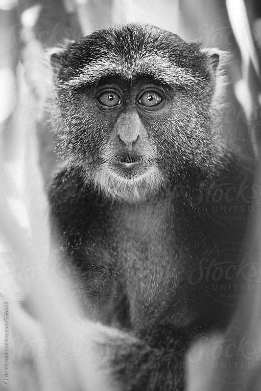 Sykes monkey by Chris Werner for Stocksy United