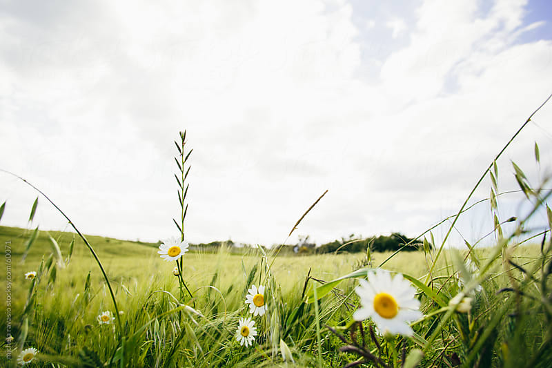 Daisies in a wheat field by michela ravasio for Stocksy United