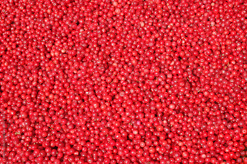 Pile of red lingonberries (cowberries) fill in the image by Ferenc Boros for Stocksy United