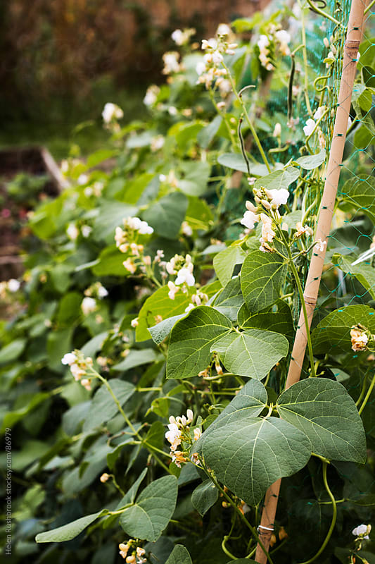 Runner beans growing in a vegetable garden by Helen Rushbrook for Stocksy United