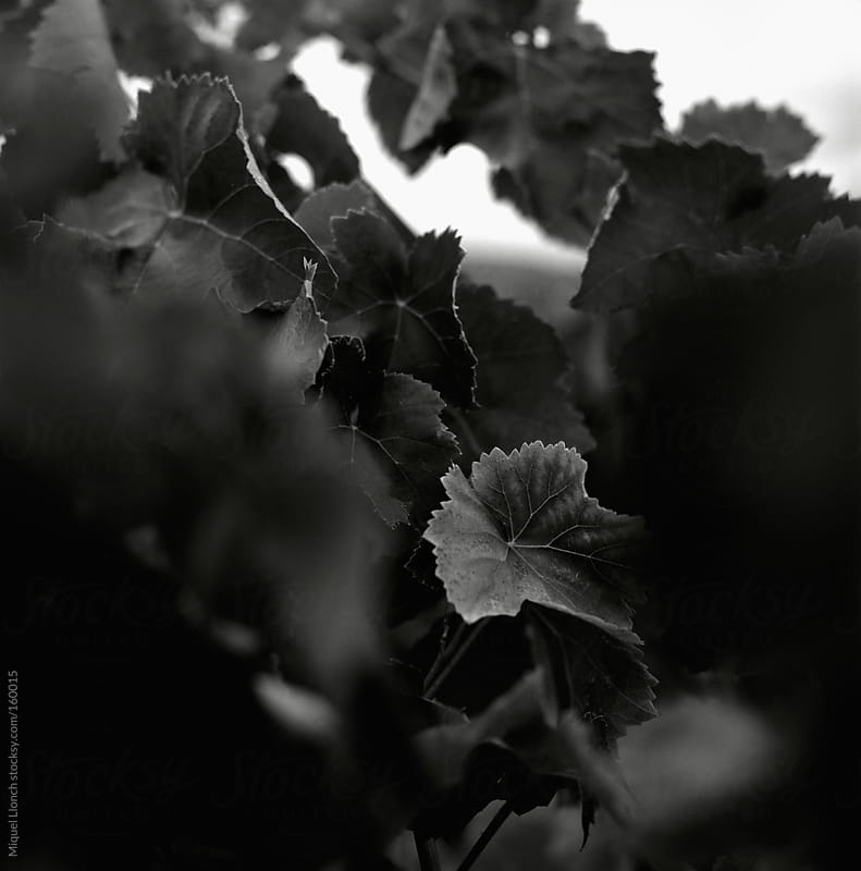 Vine leaves by Miquel Llonch for Stocksy United
