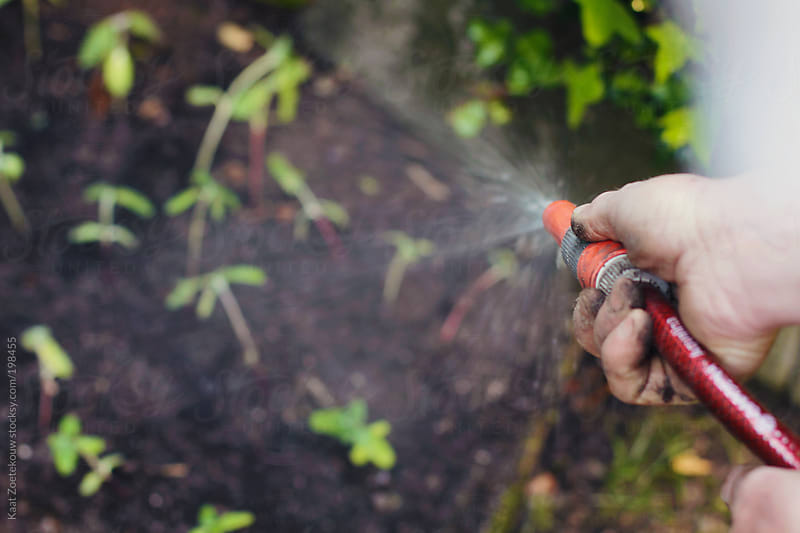 Man's hand holding a spraying garden hose, watering newly planted seedlings.  by Kaat Zoetekouw for Stocksy United