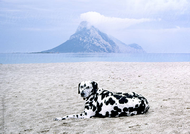 Picture of a Dalmatinian Dog On The Beach,  Sardinia Italy by Ina Peters for Stocksy United