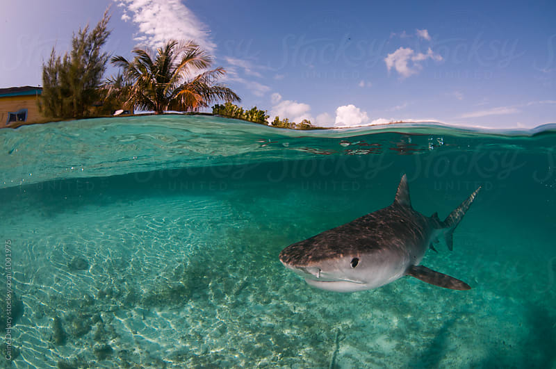Tiger shark patrols the shallow water of a tropical island by Caine Delacy for Stocksy United