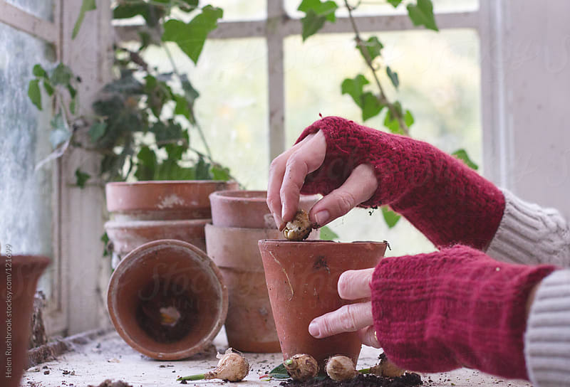 A gardener planting bulbs in a greenhouse by Helen Rushbrook for Stocksy United