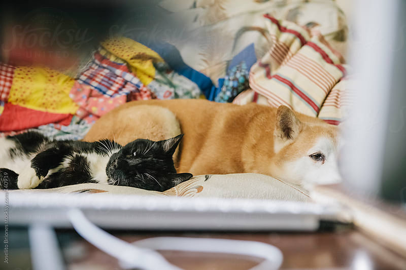 Pets Cat and Dog Sleeping on a Couch by Joselito Briones for Stocksy United