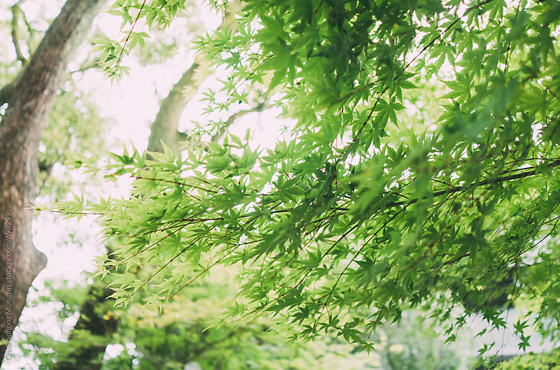 Green maple tree in summer by Chinnaphong Mungsiri for Stocksy United