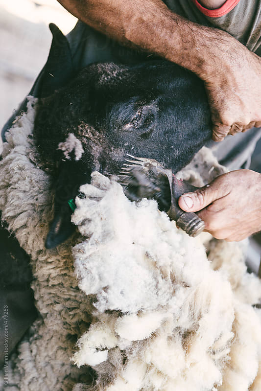 sheep shearer at work, carefully clipping around the ears by Gillian Vann for Stocksy United