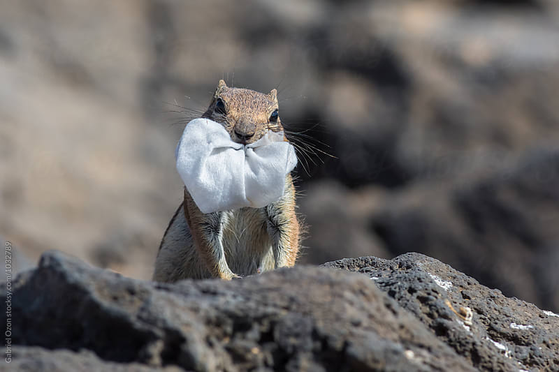 Barbary ground squirrel  (Atlantoxerus getulus)  by Gabriel Ozon for Stocksy United