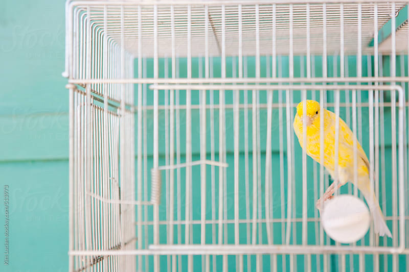 Yellow Bird in Cage against a Turquoise Wall by Kim Lucian for Stocksy United