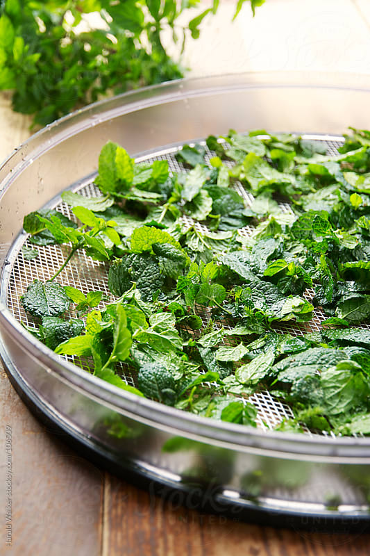 Drying peppermint leaves by Harald Walker for Stocksy United