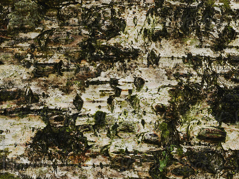 Birch bark in close-up by rolfo for Stocksy United