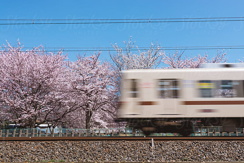 Train Passing Cherry Blossoms In Japan by Leslie Taylor for Stocksy United