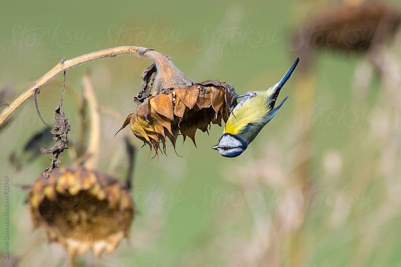 Blue Tit hanging upside down by Gabriel Ozon for Stocksy United