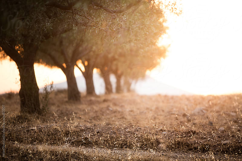 Olive trees in the sunset light by Helen Sotiriadis for Stocksy United
