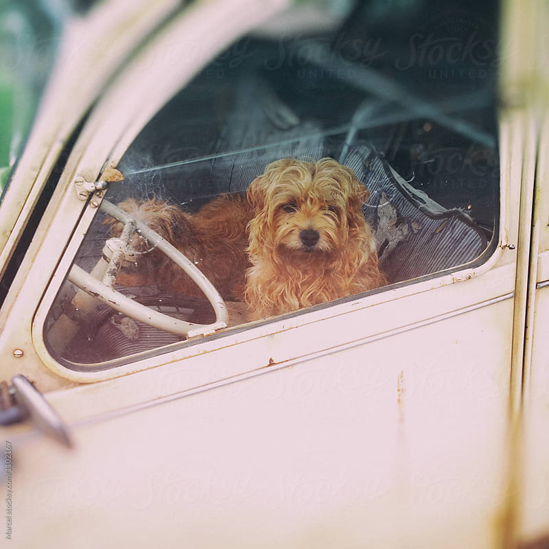 Cute dog waiting in old car by Marcel for Stocksy United