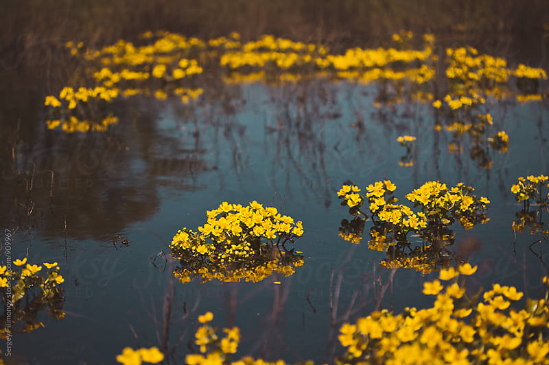 Gold yellow flowers on a forest bog by Sergey Filimonov for Stocksy United