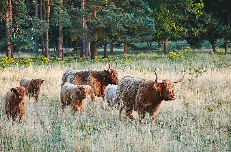 Highland cattle and calves walking through a field at sunset. Norfolk, UK. by Liam Grant for Stocksy United