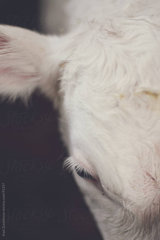 Closeup of a Belgian white blue calf's head by Kaat Zoetekouw for Stocksy United