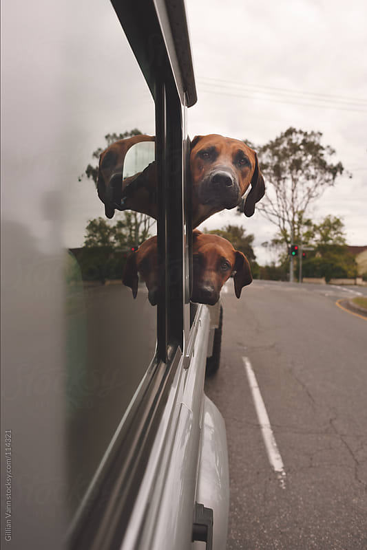 dogs in back of car by Gillian Vann for Stocksy United