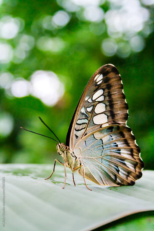 Brown butterfly on a leaf by ACALU Studio for Stocksy United