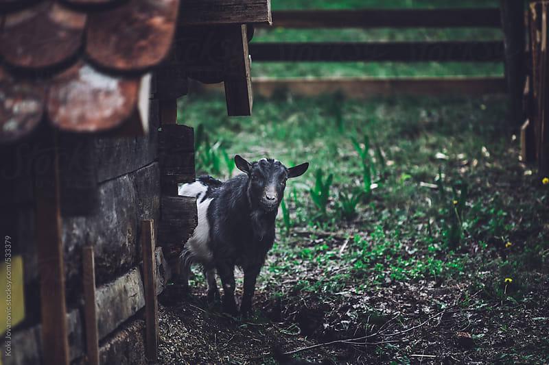 Friendly Goat by Koki Jovanovic for Stocksy United