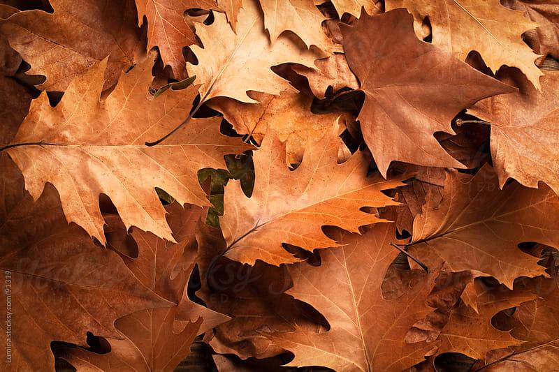 Oak Leaves by Lumina for Stocksy United