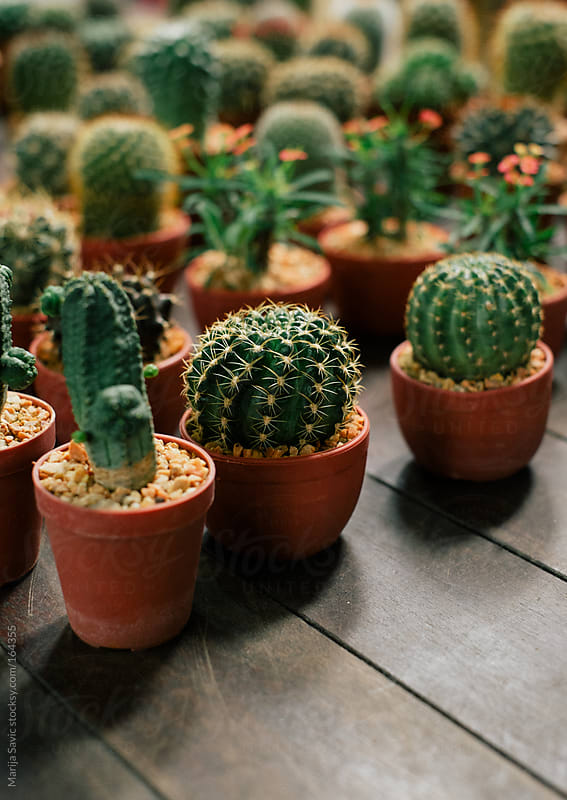 Cactus and Succulent Plants for Sale by Marija Savic for Stocksy United