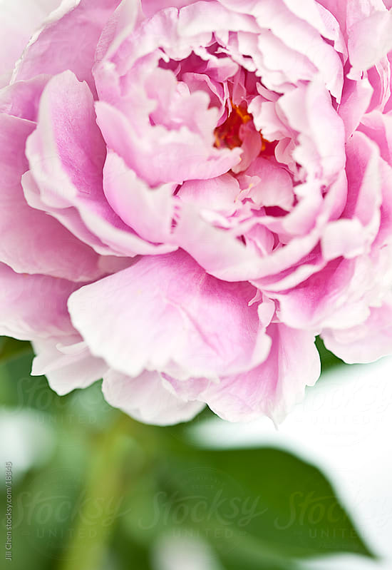 Pink Peony by Jill Chen for Stocksy United