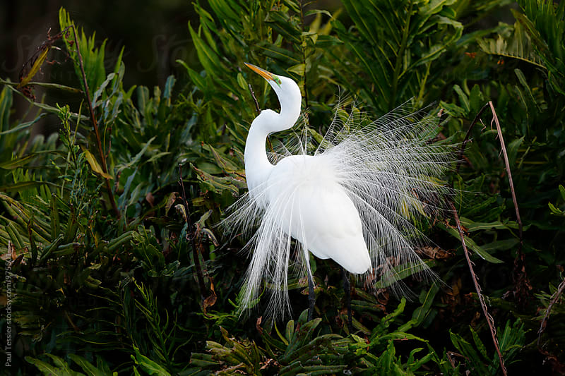 Great Egret Display by Paul Tessier for Stocksy United